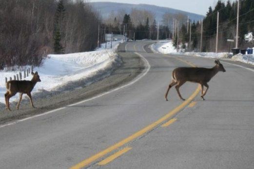 Prudence et vigilance : les cervidés sont sur les routes