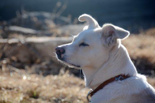 Chandler : des frais juridiques de 12 000$ contre les chiens nuisibles